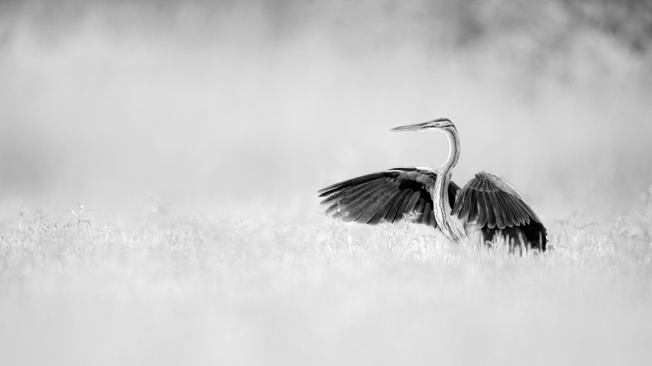 Purple heron in black and white in a pond in la Dombes in France. Photograph by Amar Guillen, photographer artist.