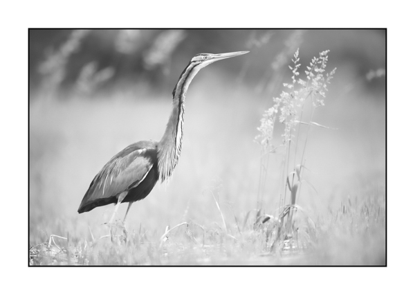 Purple heron BW I