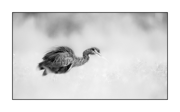 Purple heron BW II