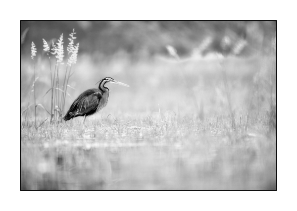 Purple heron BW III