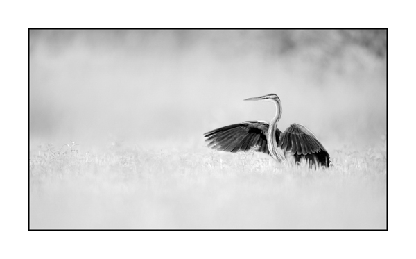 Purple heron BW IV