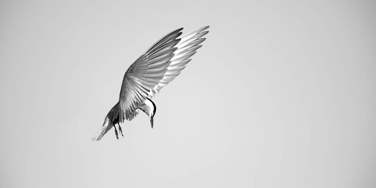 Whiskered tern flying over the Delta of Danube in Romania. Photograph by Amar Guillen, photographer artist.