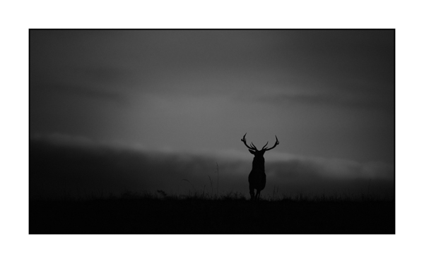 Silhouette of red deer stags in black and white. Photograph by Amar Guillen, Photographer Artist.