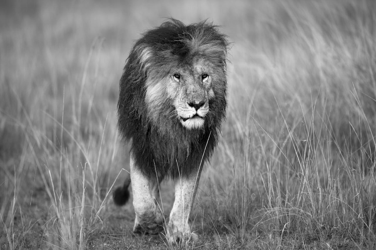 Black and white lion walking in the savannah in Kenya. Photograph by Amar Guillen, photographer artist.