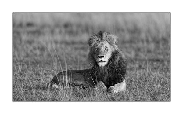 Lion in Maasai Mara in Kenya