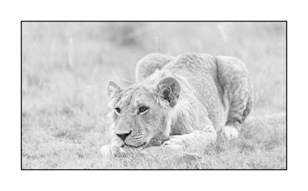 Lion cub in Maasai Mara in Kenya.