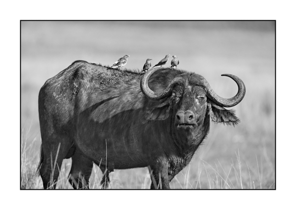 African Buffalo in Maasai Mara in Kenya.