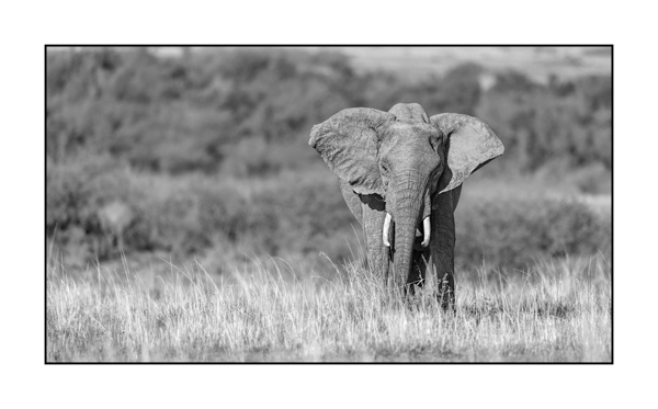 Elephant in Maasai Mara in Kenya.
