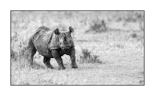 Black Rhinoceros in Maasai Mara in Kenya.