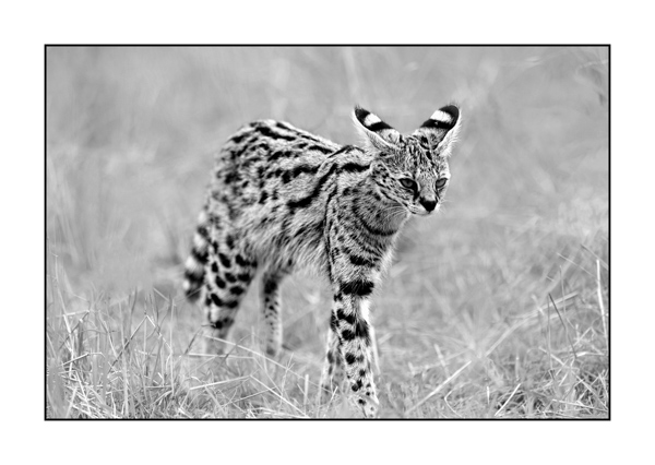 Serval Cat in Maasai Mara in Kenya.