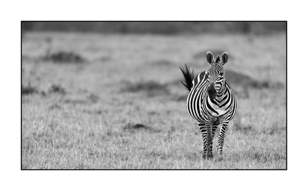 Zebra in Maasai Mara in Kenya.