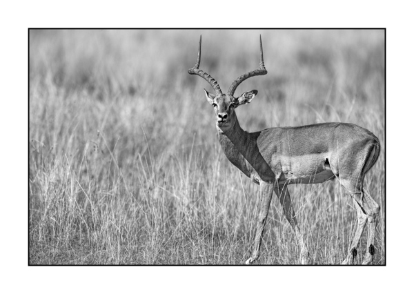 Impala in Maasai Mara in Kenya.