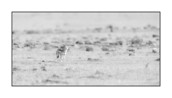 Jackal in Maasai Mara in Kenya