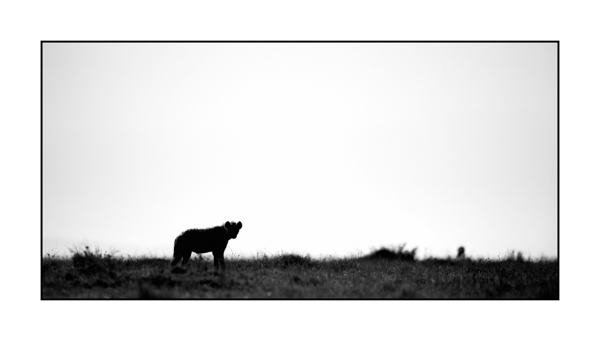 Hyena in Maasai Mara in Kenya