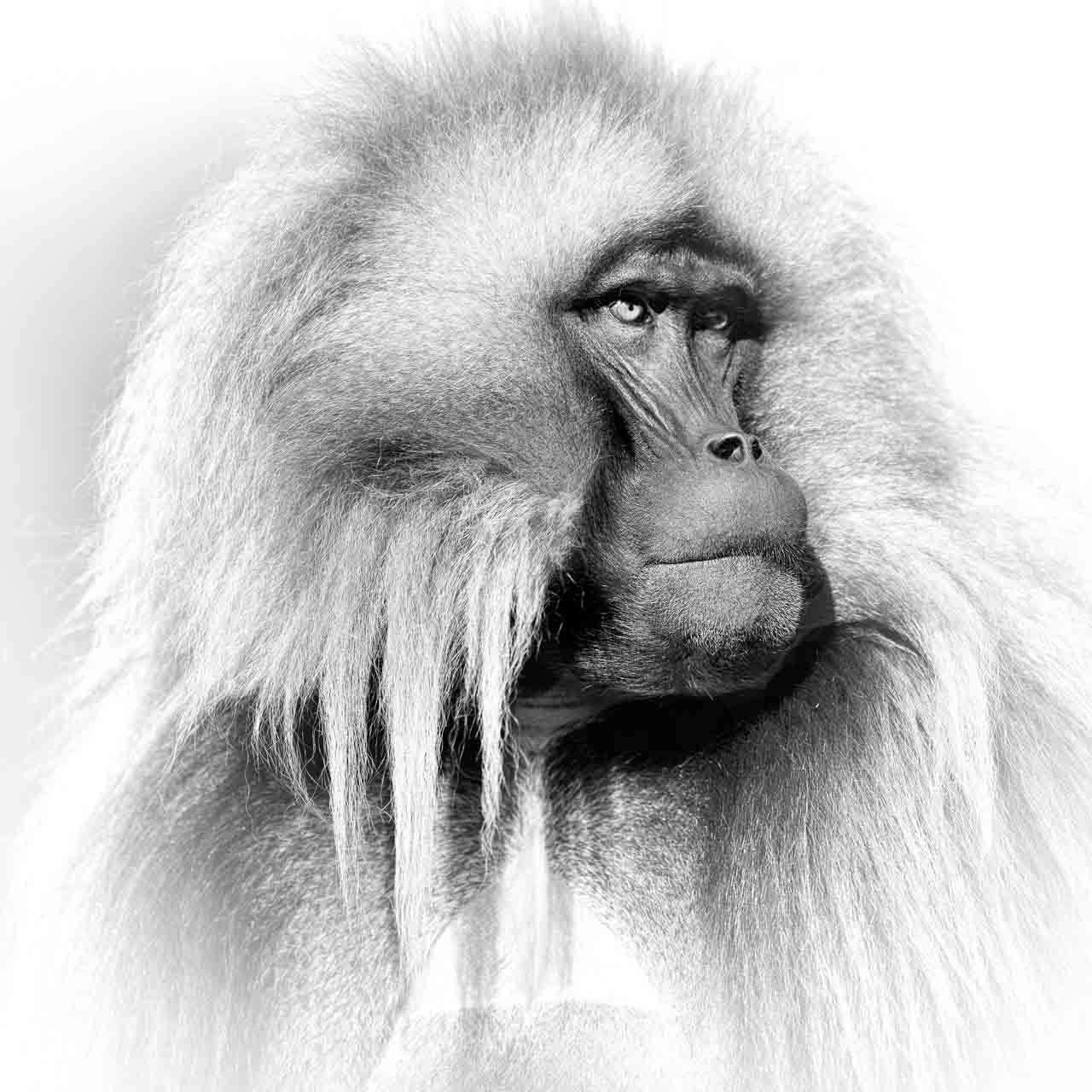 Portrait in black and white of a gelada in the Simien Mountais in Ethiopia, in black and white. Photograph by Amar Guillen, photographer artist.