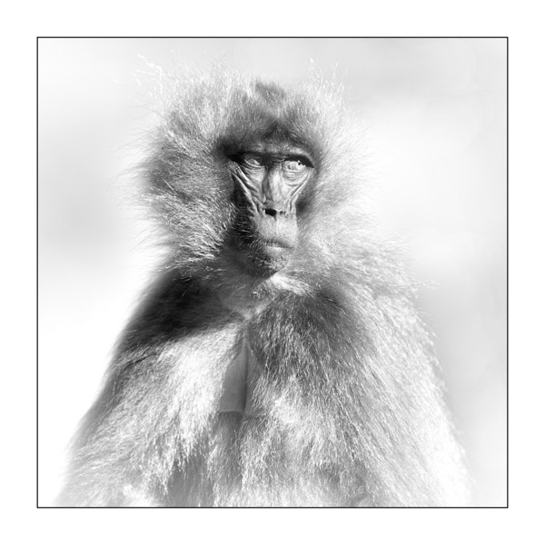 Gelada in the Simien Mountains in black and white