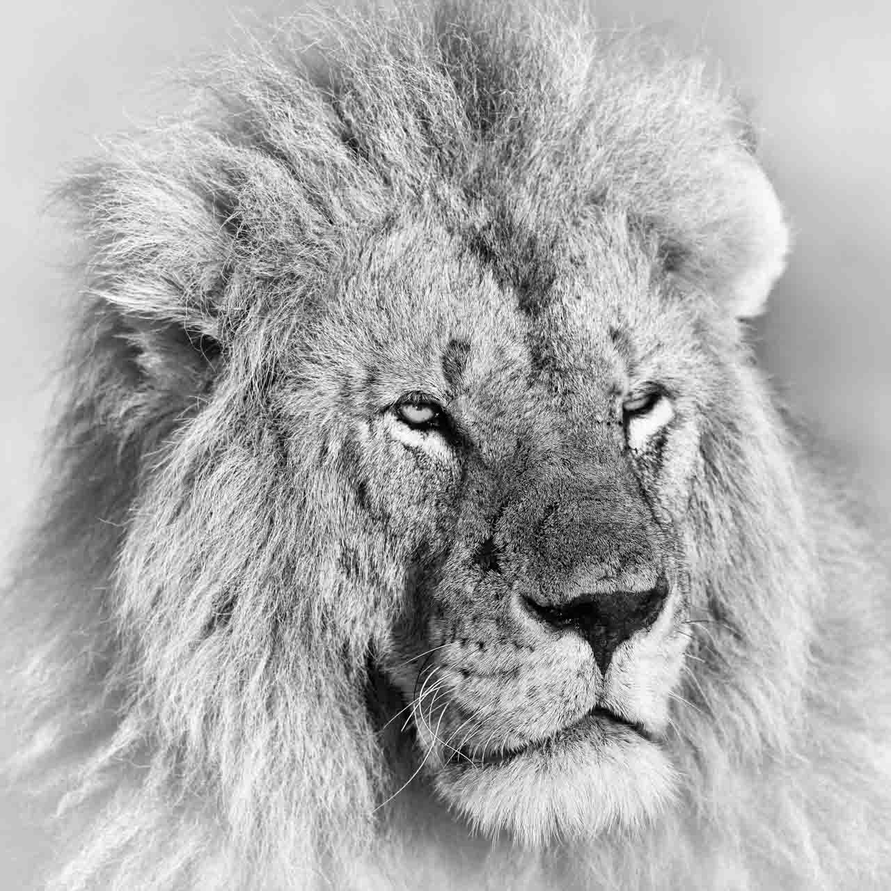 Lion in black and white in Kenya. Photograph by Amar Guillen, photographer artist.