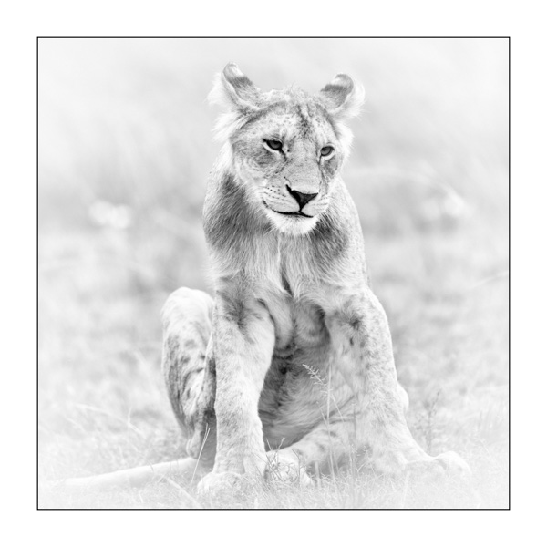 Lion in Kenya in Black and White