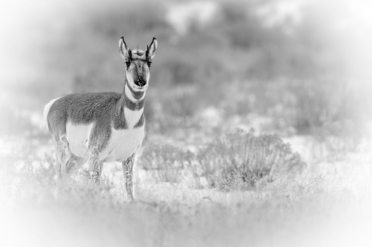 Pronghorn in the snow in Yellowstone in black and white. Photograph by Amar Guillen, photographer artist.