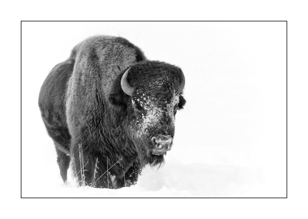 Bison in Yellowstone in winter in black and white