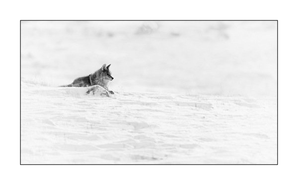 Coyote in Yellowstone in winter in black and white