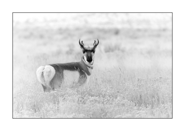 Pronghorn in Yellowstone in winter in black and white