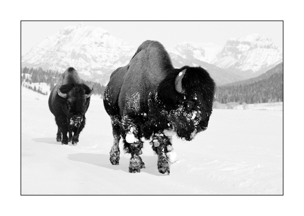 American Bison in the Yellowstone in Black and White