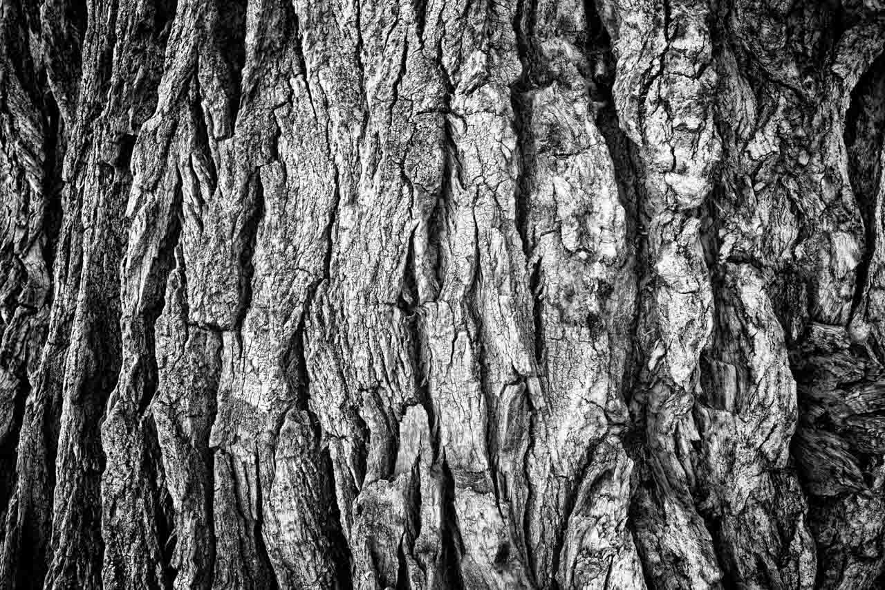 Tree bark of a Fremont Cottonwood. Photograph in black and white by Amar Guillen, photographer artist.