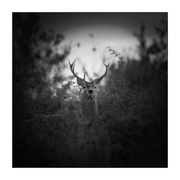Hide and Seek with a Red Deer Stag during the Rut. Photograph in Black and White by Amar Guillen, Photographer Artist.