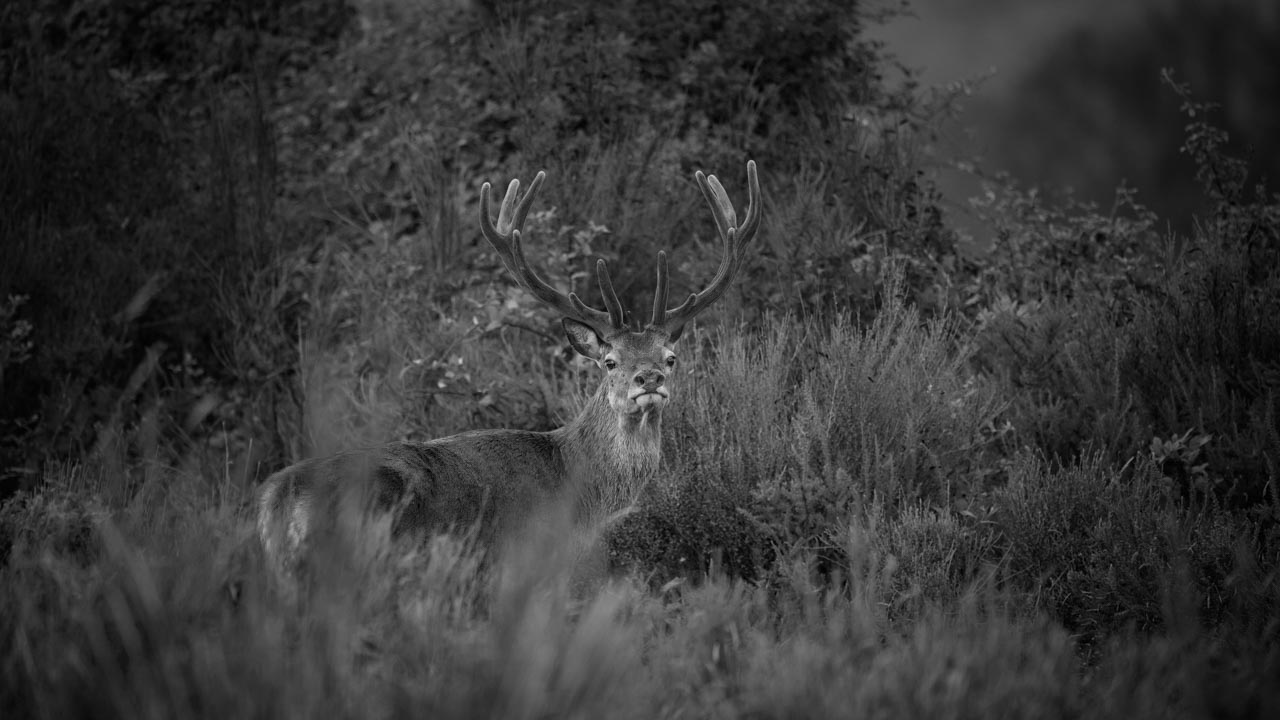 Red Deer Stag in Velvet Antlers. Photograph in black and white by Amar Guillen, photographer artist.