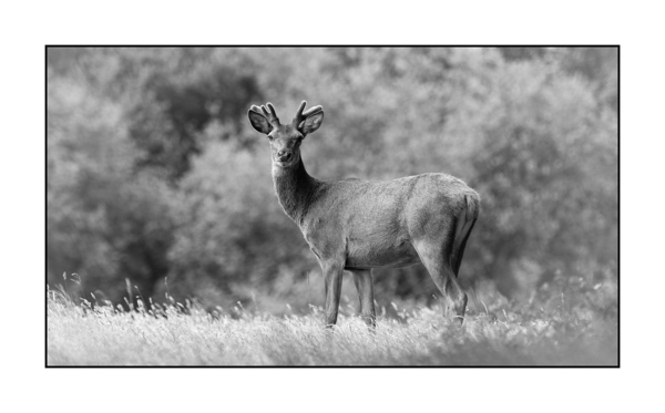 Red deer stag in velvet antlers. Photograph in black and white by Amar Guillen, Photographe artist.