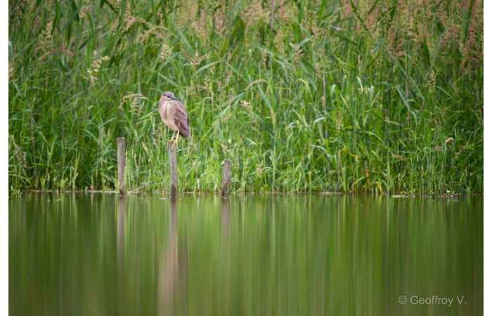 stage-photo-animaliere-affut-flottant-en-dombes-geoffroy-8