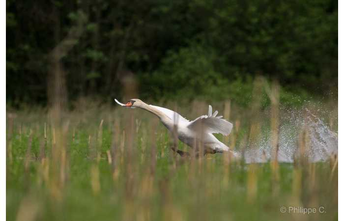 stage-photo-animaliere-affut-flottant-en-dombes-philippe-2