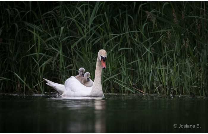 stage-photo-animaliere-affut-flottant-en-dombes-josiane