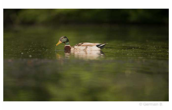 stage-photo-animaliere-affut-flottant-en-dombes-germain-3