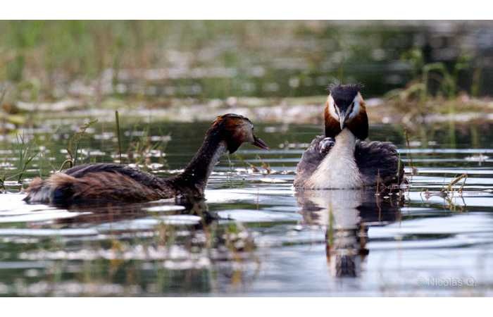 stage-photo-animaliere-affut-flottant-en-dombes-nicolas-3