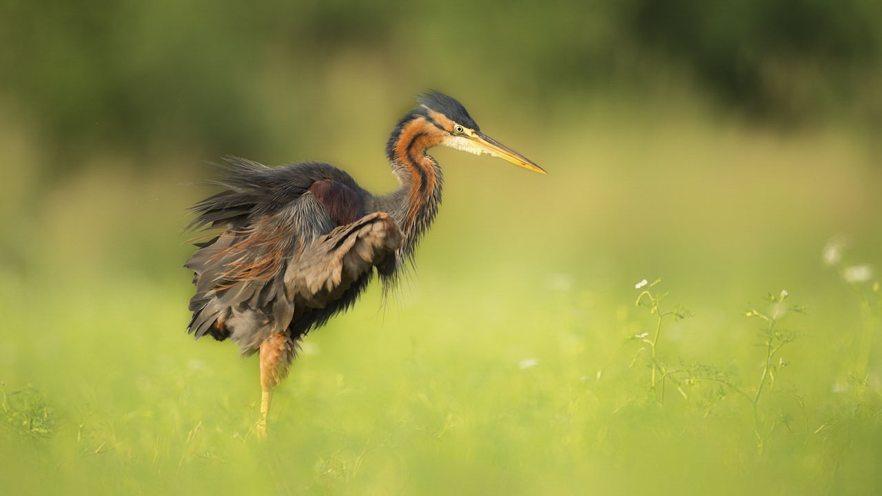 Purple heron snorting in a pond in La Dombes. Photograph taken from a floating blind.