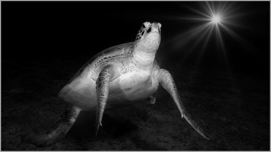 Green turtle swimming in the Red Sea in Egypt in black and white