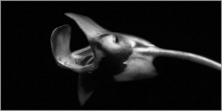 Manta ray at night in the Maldives in black and white.