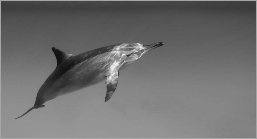 Dolphin swimming in the Red Sea in Egypt in black and white.