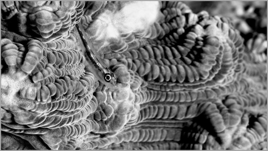 Goby on a hard coral in the Red Sea in Egypt in black and white.