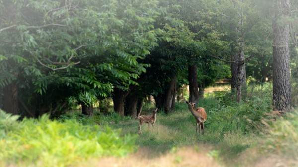 Fawn and doe in the undergrowth in France