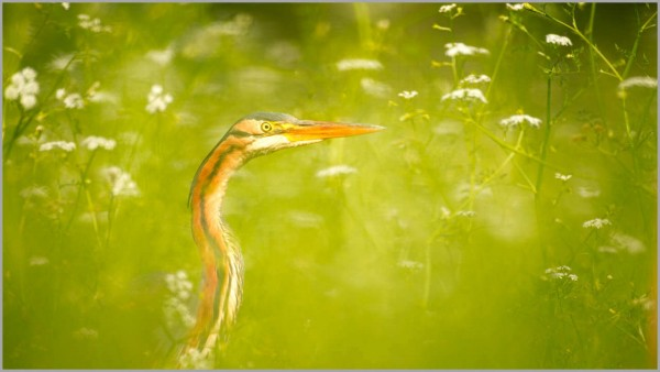 Purple heron on a pond in la Dombes in France.