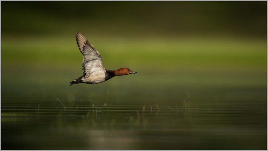 Common pochard male over a pond in la Dombes in France.