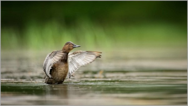 Common pochard female over a pond in la Dombes in France.