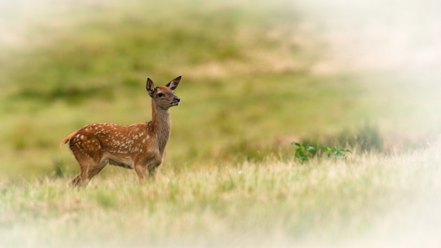 red deer fawn in open prairie grasslands of Charente-Maritime, France
