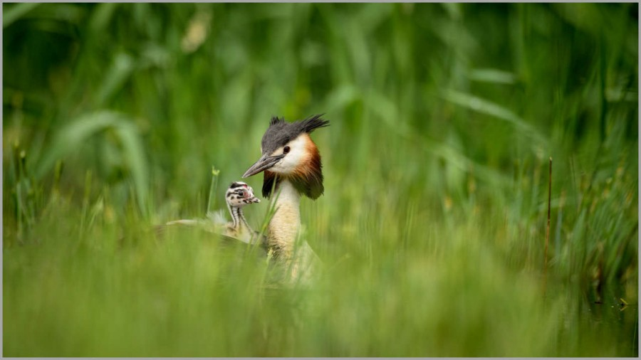 Great crested grebe with a chick on his back in la Dombes in Fra