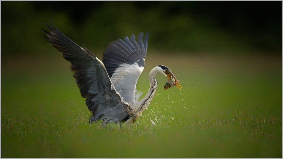 Grey heron on a pond in la Dombes in France.