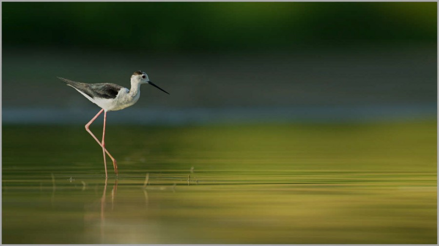 Black winged stilt on a pond in la Dombes in France.
