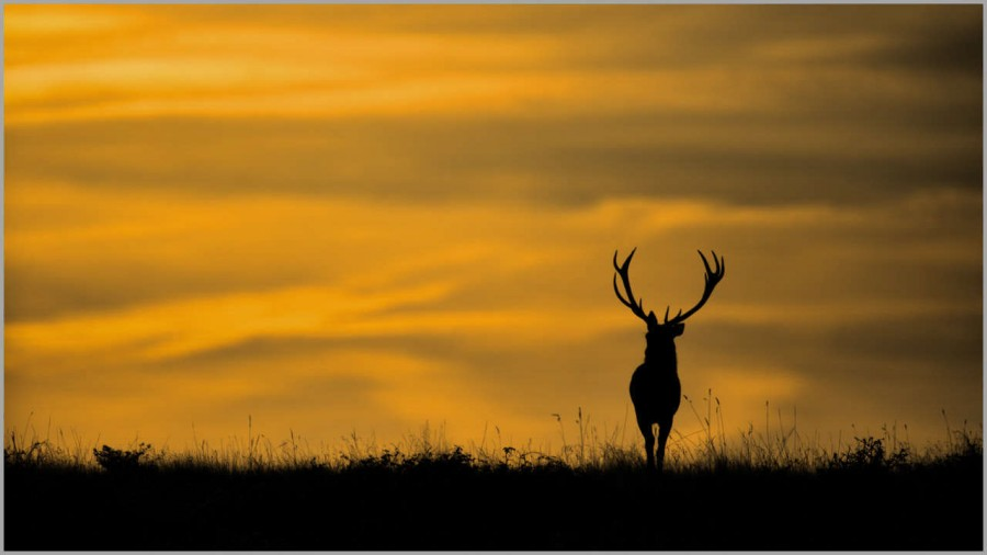 Red deer stag at dusk in backlight in France.